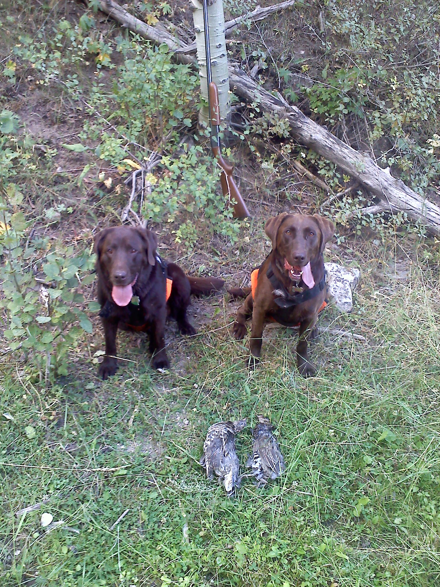 Labs Hunting Grouse Grouse Hunt With The Labs