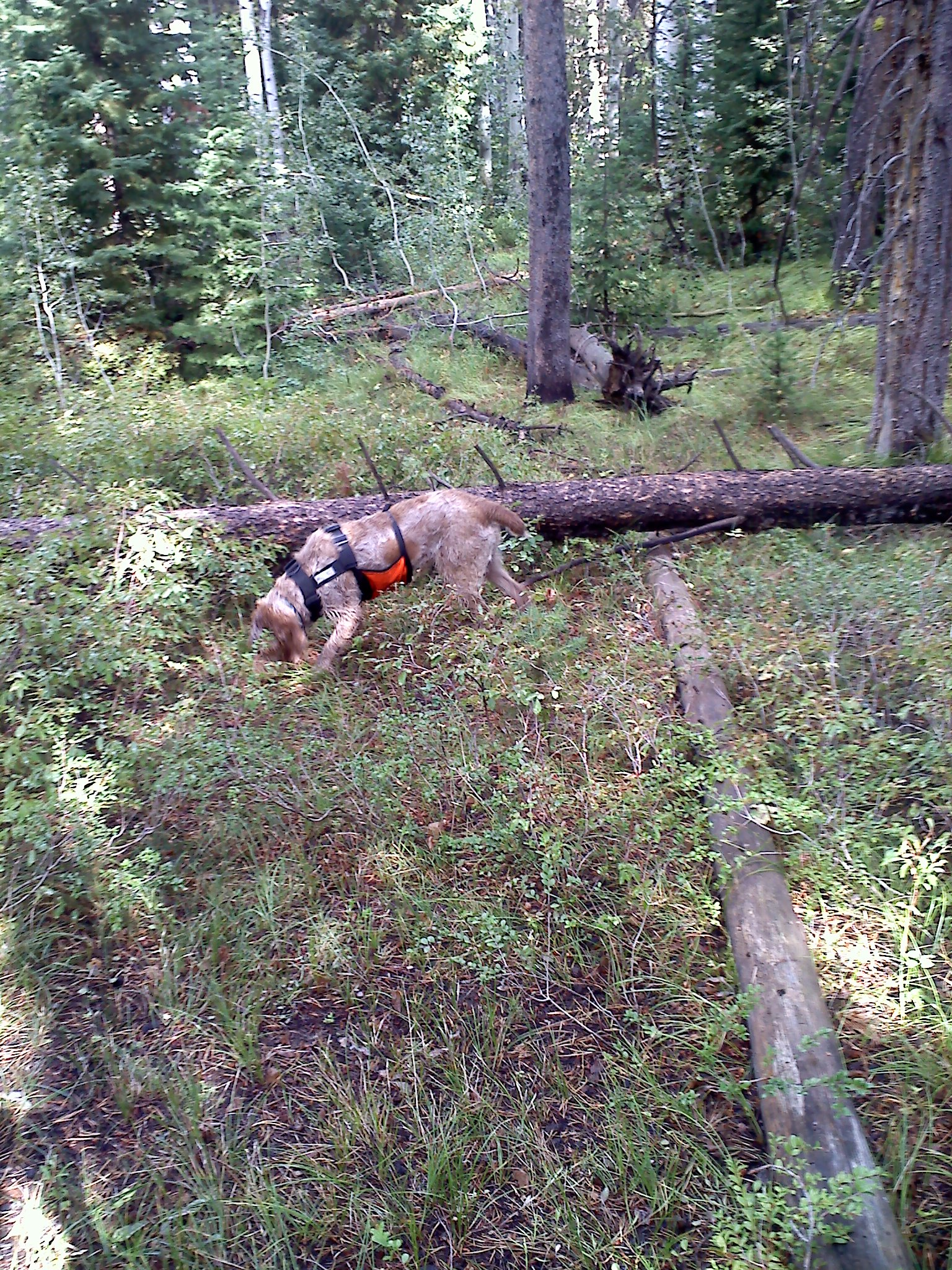 Grouse hunt on Pine Creek Pass | Murphy's Bird Dog Blog