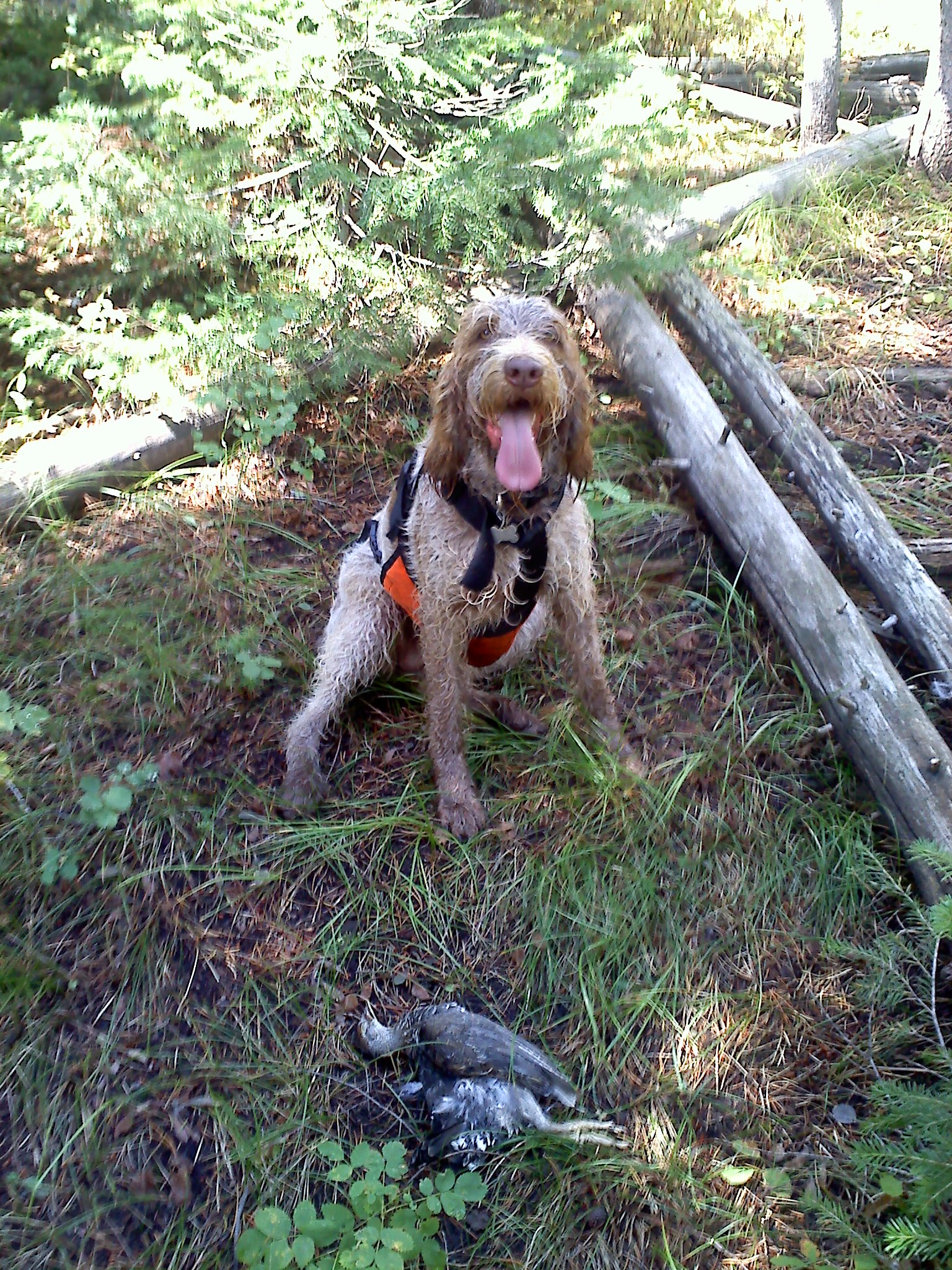 Labs Hunting Grouse Grouse Hunt on Pine Creek Pass
