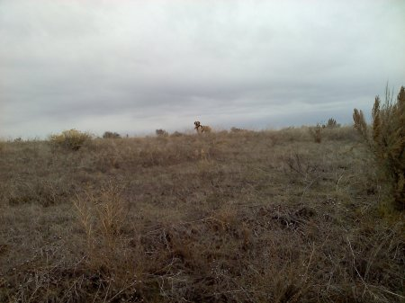 Elettra on the skyline while hunting a farner's field, 11-30-12