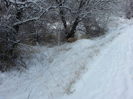 Elettra on point at the base of the tree, although she's hard to see. About 8-10 Pheasants came out of the brush, 12-31-12