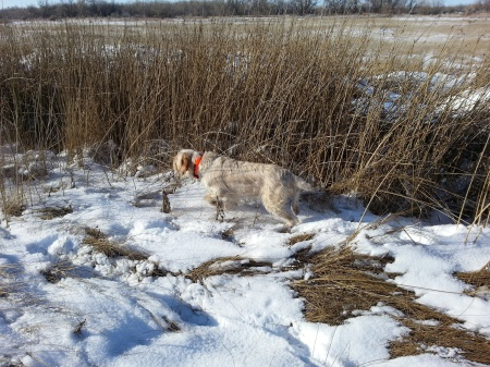 Before duck hunting I wanted to get Elettra on some Pheasants.
