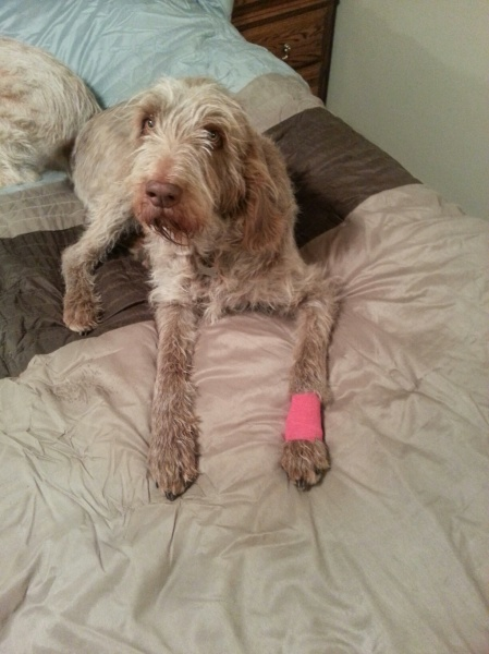 Mia with a wrap, having torn off her dewclaw nail. 2-16-13.