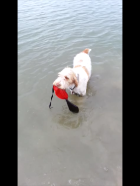 Doc makes his first water retrieve with a bumper, 5-3-13