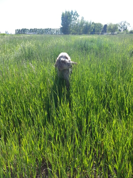 Mia retrieves the Pheasant we were working with, 6-4-13