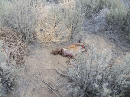 A beaver carcass was used to draw animals, probably coyotes, into the snare.