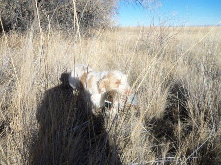 Doc retrieves the Pheasant that put up a fight.