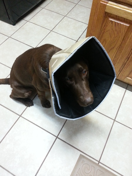 Dakota wearing the Cone of Shame after having a growth removed from her leg. At least the cone is soft and padded.