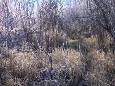 Pheasant hunting with Mia in heavy brush. Can you find her?